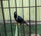 Burung Raja Perling Gacor - Malang Kota - Hewan Peliharaan
