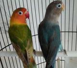 Arsip: Lovebird Pasangan Usia Remaja - Malang Kota - Hewan Peliharaan