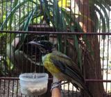 Burung Smyng Trotol (Malang) - Malang Kota - Hewan Peliharaan
