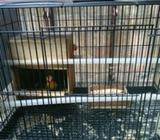 Love bird sepasang - Malang Kota - Hewan Peliharaan