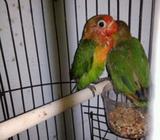 Arsip: Love bird paud usia 1 bulan - Semarang Kota - Hewan Peliharaan