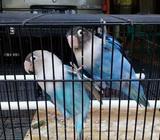 Lovebird jodohan pasbir mangsi - Sidoarjo Kab. - Hewan Peliharaan