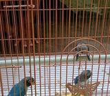 Anakan Love Bird - Sidoarjo Kab. - Hewan Peliharaan