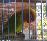Love bird betina murah - Sidoarjo Kab. - Hewan Peliharaan