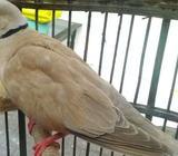 Burung anggungan rawatan lama - Sidoarjo Kab. - Hewan Peliharaan