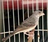 Jual burung sanger gacor puol isian blacthroat murah meriah - Sidoarjo Kab. - Hewan Peliharaan