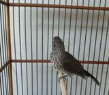 Burung siri2 joss fullset kk buagus - Sidoarjo Kab. - Hewan Peliharaan
