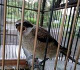 Burung cendet siap di masteri - Sidoarjo Kab. - Hewan Peliharaan