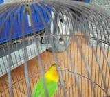 Lovebird Ijo Standar - Sidoarjo Kab. - Hewan Peliharaan