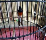 Burung murai medan MH gacor tengahan - Sidoarjo Kab. - Hewan Peliharaan