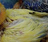 PB euwing pied vio & euwing pastel/blue - Sidoarjo Kab. - Hewan Peliharaan