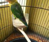 Jual burung bahan kekean 100 rb - Sidoarjo Kab. - Hewan Peliharaan