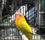 Arsip: Lovebird pasjo kekean 10up - Sidoarjo Kab. - Hewan Peliharaan