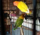 Lovebird indukan lutino mm x spangle green - Sidoarjo Kab. - Hewan Peliharaan