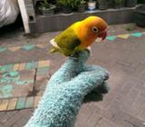 Lovebird jinak no minus - Sidoarjo Kab. - Hewan Peliharaan