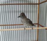 Arsip: Burung masteran joss fullset - Sidoarjo Kab. - Hewan Peliharaan