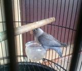 Lovebird jantan Slaty - Sidoarjo Kab. - Hewan Peliharaan